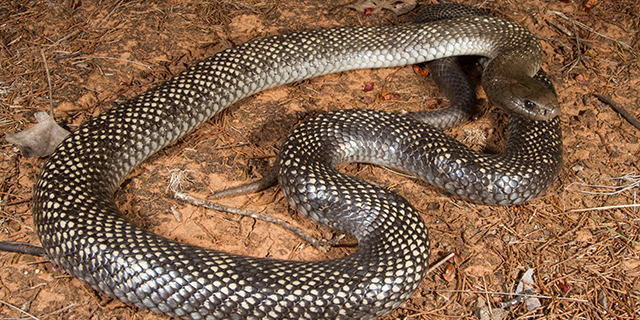 photo of Pseudechis guttulatus,the spotted or Blue-bellied Black snake